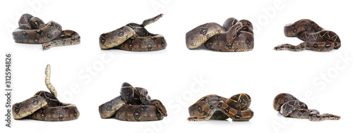 Photos of boa constrictor on white background, collage Canvas-taulu