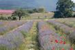 Lavendelfeld mit Klatschmohn