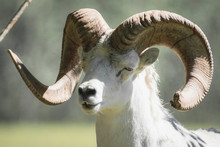 A Dall's Sheep Ram With Super ...