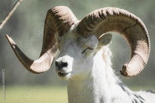 A dall's sheep ram with super big horns Canvas Print