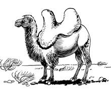 Asian Camel In The Desert