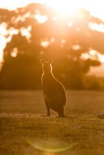 A Western Grey Kangaroo, Macro...