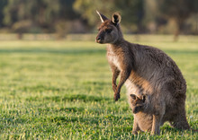 A Western Grey Kangaroo With J...