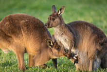 A Western Grey Kangaroo With Joey Looking Out Of The Pouch And Male Smelling The Baby, Macropus Fuliginosus, Subspecies Kangaroo Island Kangaroo.