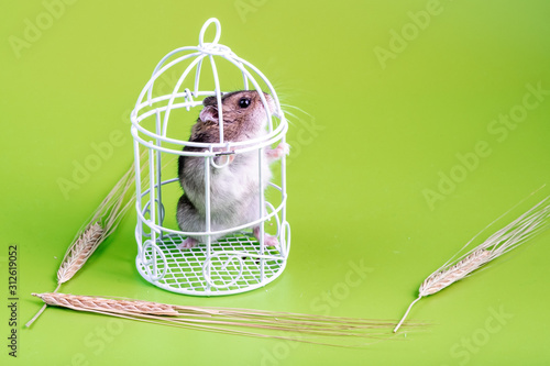 Fotografia, Obraz in a small toy closed cage, a hamster stands on its hind legs
