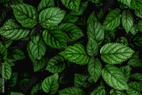 Fototapete - abstract green leaves texture, nature background, dark tone wallpaper