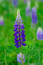Lupins And Bee