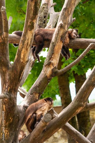 capuchin sleeping on a tree branch Wallpaper Mural