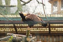 Eastern Imperial Eagle (Aquila Heliaca) In The Aviary In ZOO