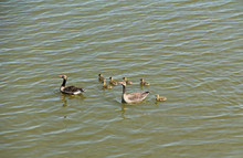 Couple Of Wild Geese With Goslings Swimming On The Lake