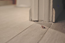 Cockroach On Wooden Floor In A...