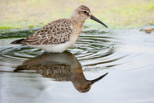 Curlew Sandpiper (Calidris Ferruginea) Looking For Food In The Water
