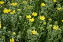 Closeup Grindelia Squarrosa Know As Curlycup Gumweed With Blurred Background In Summer Garden