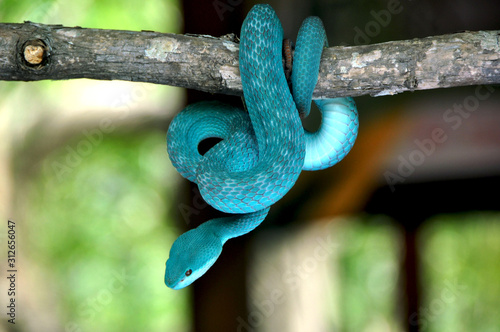 Fotografija Blue viper snake on branch