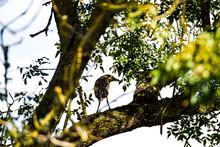 Bihoreau Gris Nycticorax Nycticorax - Black-crowned Night Heron Juvénile Se Cache Dans Un Arbre Marais Poitevin France
