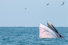 Bryde's Whale Swim In The Thai...