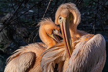 Two Rosy Pelicans In A Funny P...