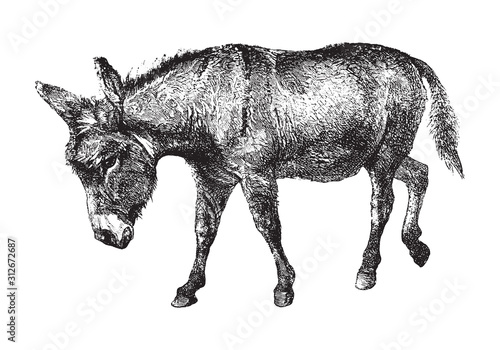 Canvas Print Donkey (Equus asinus) / vintage illustration from Brockhaus Konversations-Lexiko