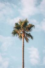 Palm Tree In Malibu, California