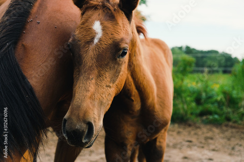 Young foal closeup with mare horse looking at camera from farm field.