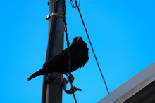 Crow Perched On Power Line