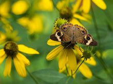 Common Buckeye Butterfly On Yellow Flower.