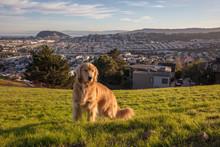 Golden Retriever Dog In Urban Background