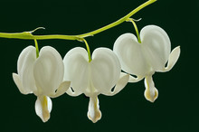 Close-up Of White Bleeding Hea...