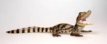 Spectacled Caiman / Krokodilka...
