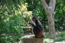 White-Bellied Spider Monkey (A...