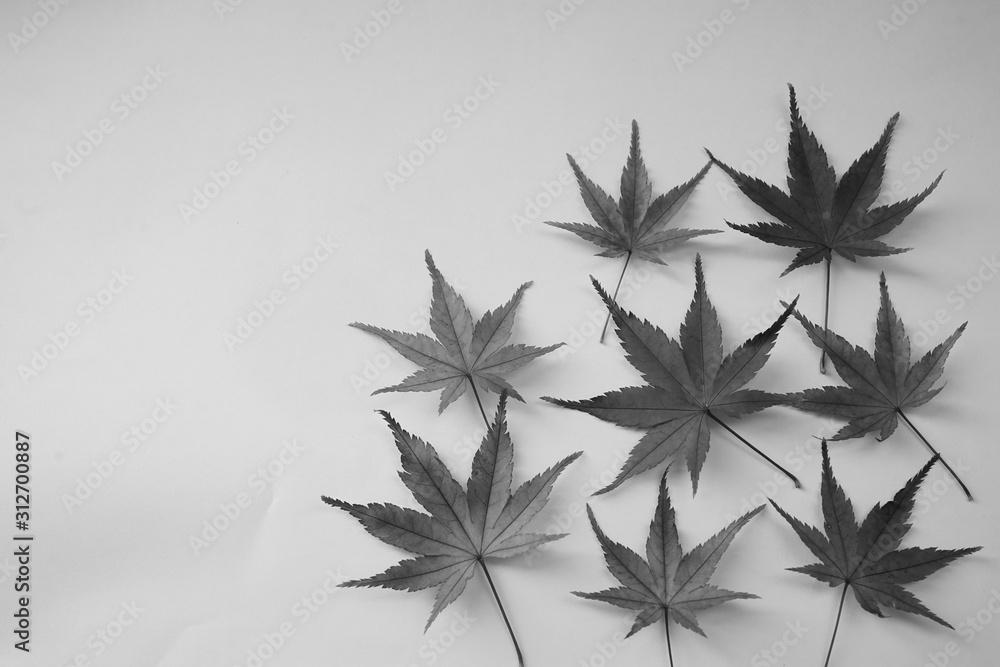 Fototapeta 紅葉 かえで 落ち葉 葉 8枚 空白 白バック 白黒 モノクロ