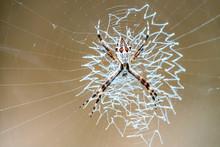 Macrophotograph Of Weaver Spid...