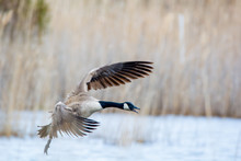 Canada Goose Landing On The Wa...