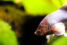Betta Fish On Background