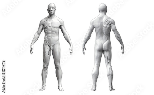 Photo Human body anatomy of a man in two views isolated in white background - 3d rende