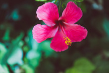 Deep Pink Hibiscus Flower Shot At Shallow Depth Of Field