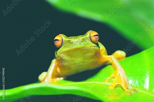 frog on leaf Canvas Print