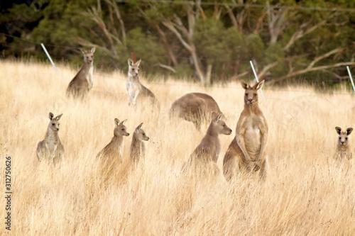 Photo Kangaroo mobs.