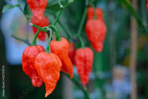 Fotografie, Obraz Close up bhut jolokia in garden