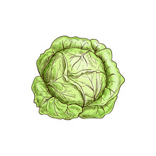 Green Leafy Cabbage Head Isola...