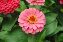 Close Up Of A Pink Zinnia Flower In The Garden