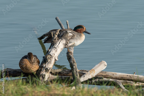Photo A Eurasian Teal resting on a piece of wood near water