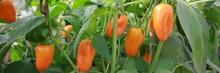 Orange Pepper On A Branch In T...