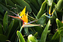 Strelitzia Is A Royal Flower, ...