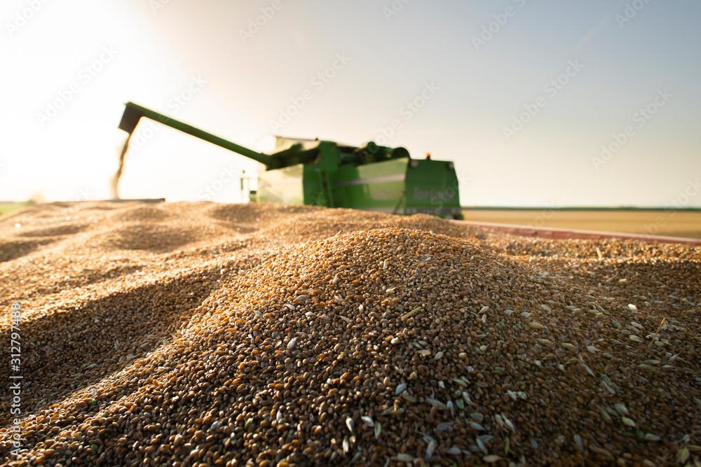Fototapeta Harvester at work in summer sun