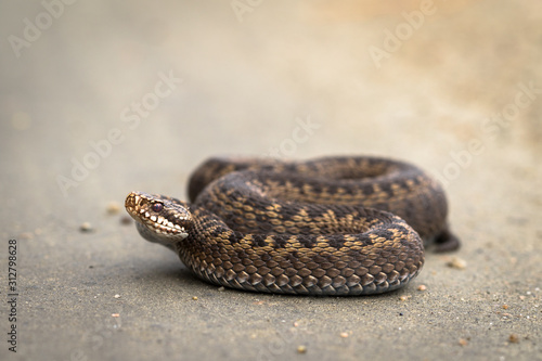 Brown female of Common European Adder, Vipera berus, on dirt road Wallpaper Mural