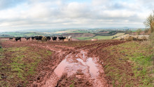 Cows Feeding On Hay From Ring Feeders With Deep Tractor Tracks Filled With Water In The Red Devonshire Mud In The Foreground And Rolling Devon Fields In The Background Under A Cloudy Winter Sky.
