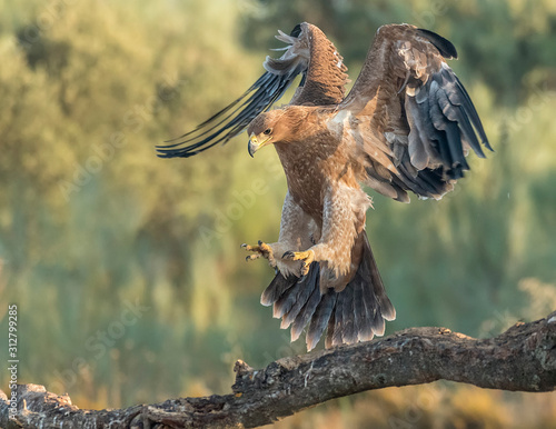 Fotografia, Obraz Iberian imperial eagle on a branch with wings open or in flight, with unfocused