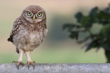 Little Owl On Metal Gate