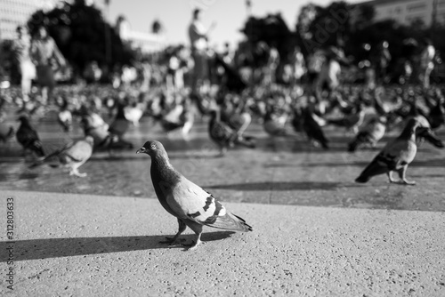 A pigeon in Barcelona city Canvas Print